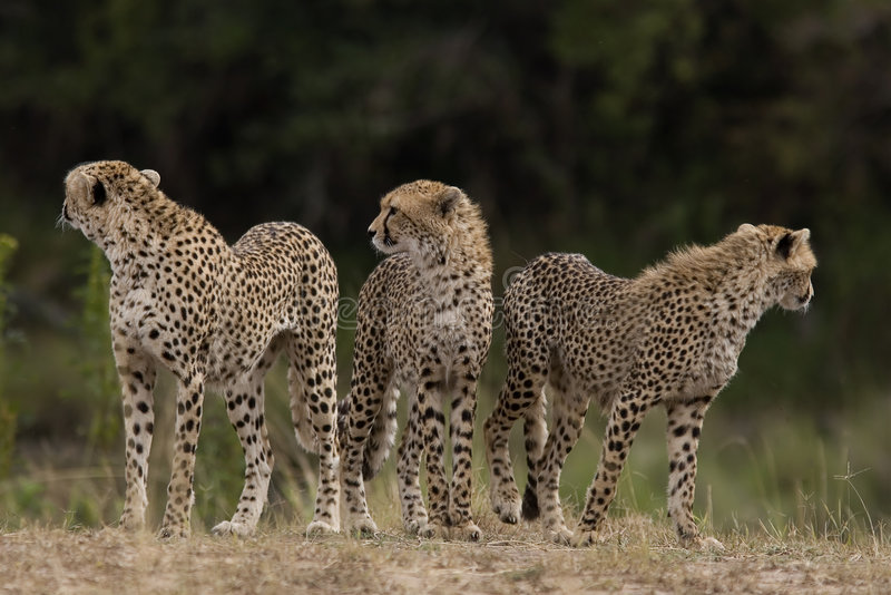 Mara masajów geparda obrazy royalty free