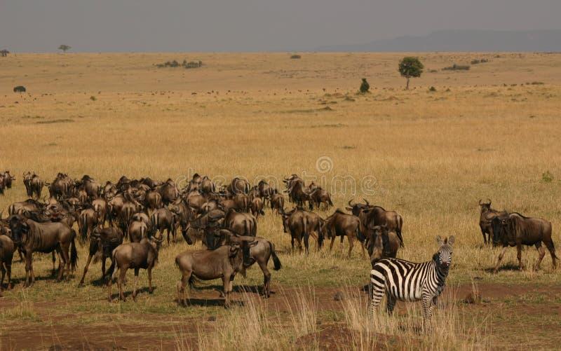 Mara migratie royalty-vrije stock afbeeldingen