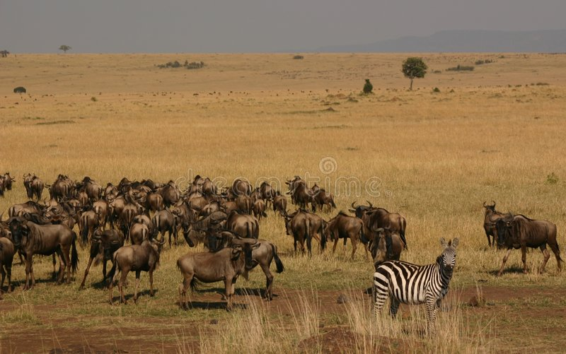 Mara migration royalty free stock images