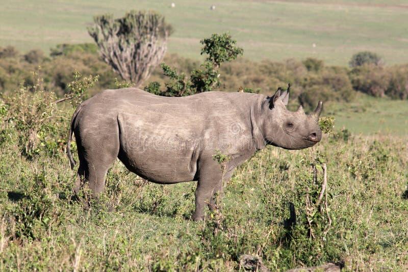 mara noshörning royaltyfri foto