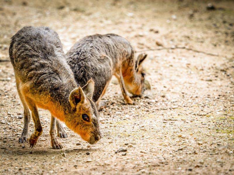 Mara patagonian immagine stock
