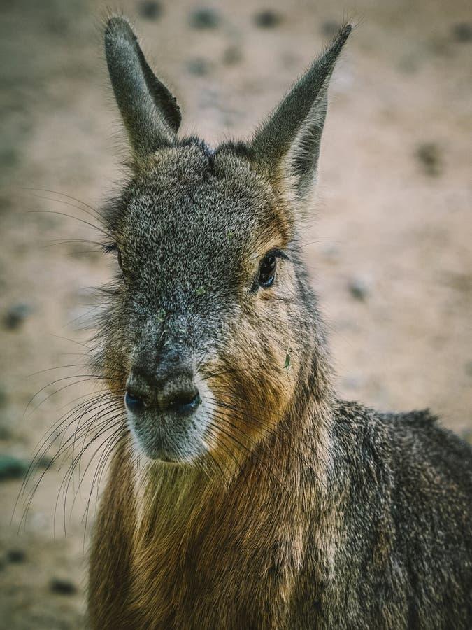Mara patagonian immagine stock libera da diritti