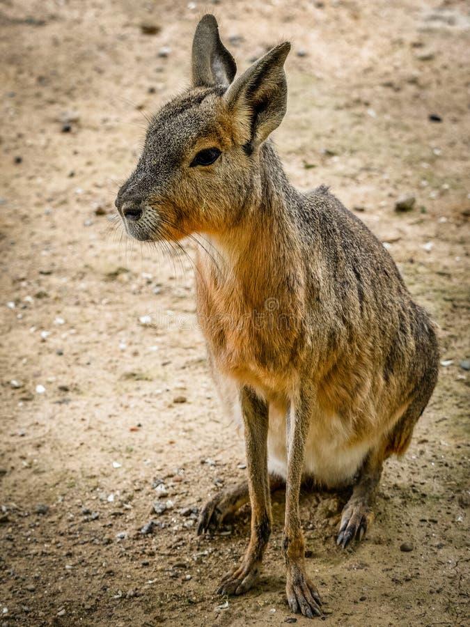 Mara patagonian fotografie stock