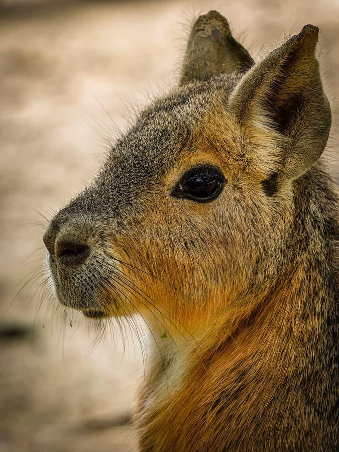 Mara patagonian immagini stock