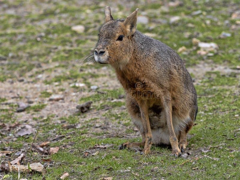 Mara, patagonum de Dolichotis, habite la steppe sud-américaine photographie stock