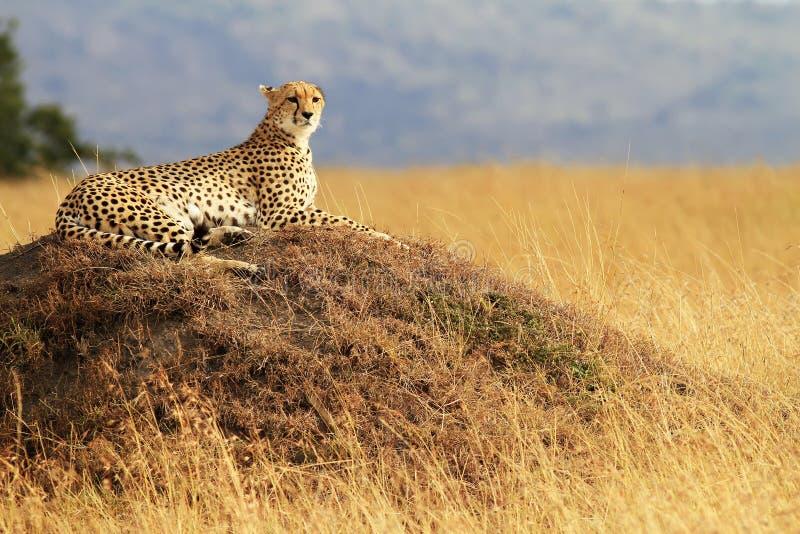 Mara van Masai Jachtluipaard royalty-vrije stock foto's