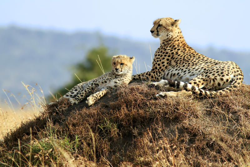 Mara van Masai Jachtluipaarden stock fotografie
