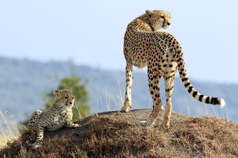 Mara van Masai Jachtluipaarden royalty-vrije stock fotografie