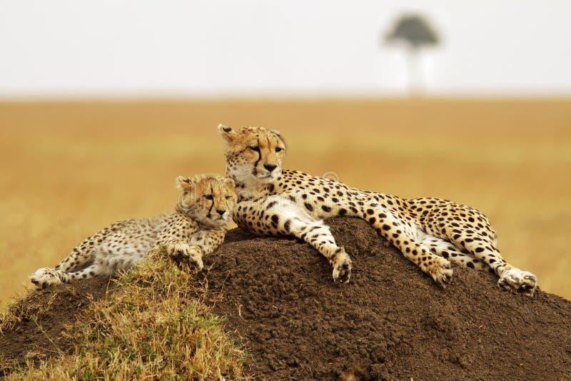 Mara van Masai Jachtluipaarden royalty-vrije stock foto