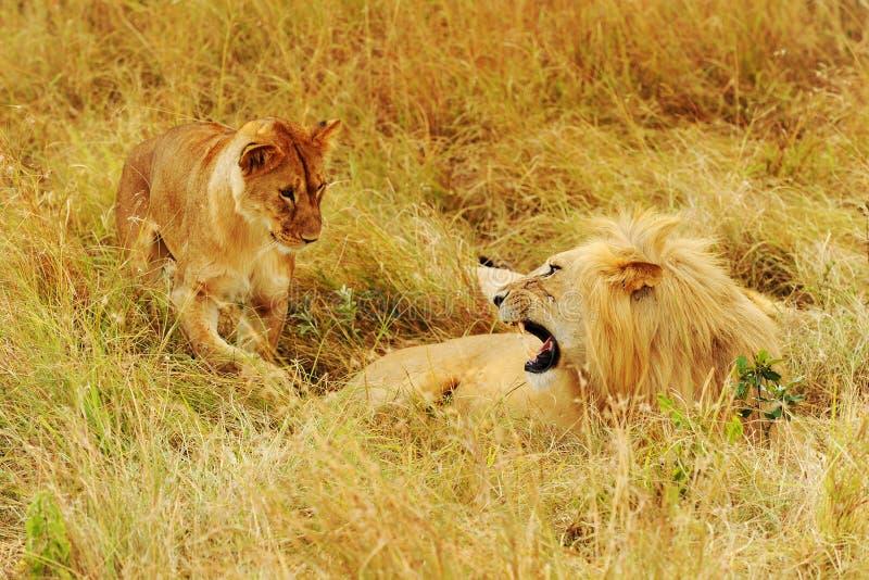 Mara van Masai Leeuwen stock foto's