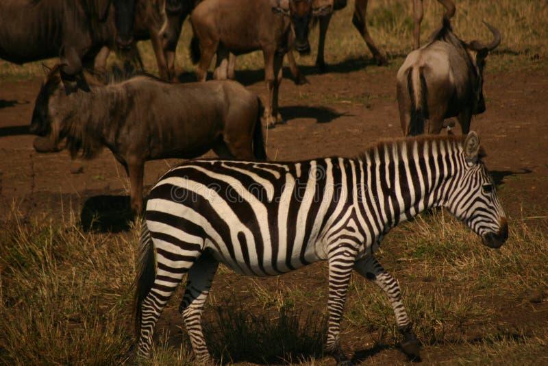 Mara zebra royalty-vrije stock afbeelding