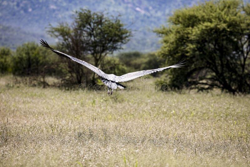 Marabù africano che sorvola la savanna a Erindi fotografia stock