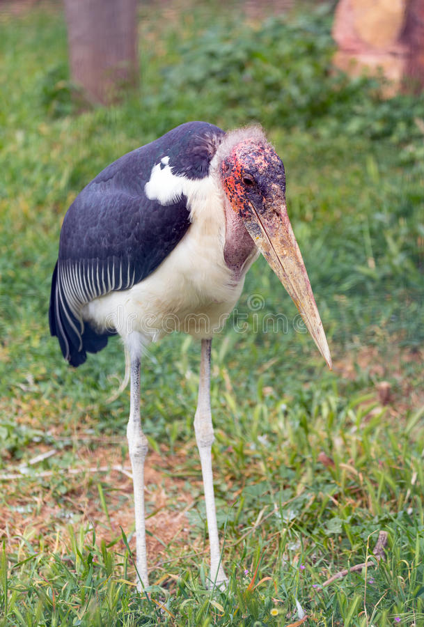 Marabou πελαργός & x28 Leptoptilos crumenifer& x29  Αφρικανικό πουλί στοκ φωτογραφία με δικαίωμα ελεύθερης χρήσης