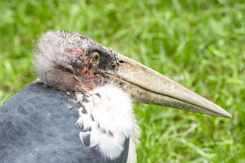 Head of marabou storck, scavenger bird, living in southern Africa. Marabou - Leptoptilos crumeniferus - on meadow. Marabous are scavengers and live in southern stock images