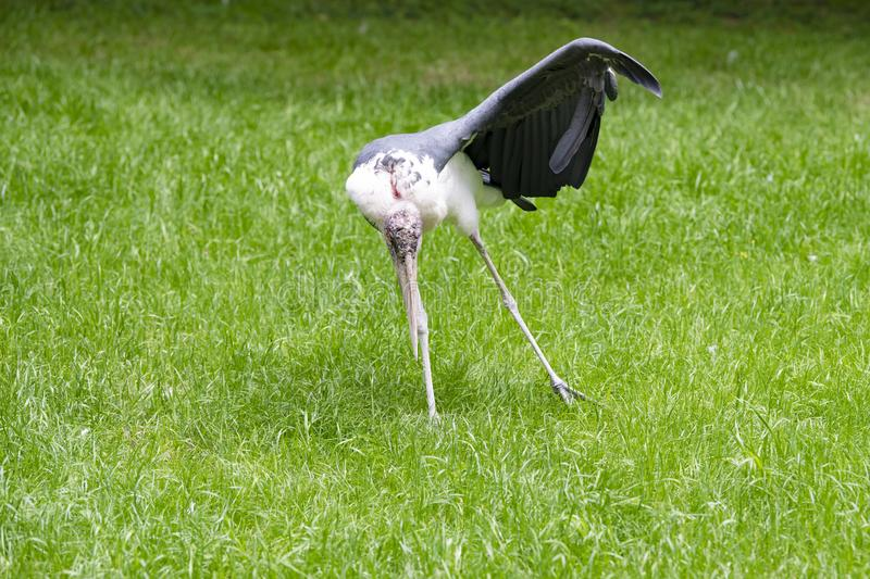 Marabou storck, bird, picking in grass and spreading one wing and one leg. Marabou - Leptoptilos crumeniferus - Standing on Meadow spreading leg and wing stock photos