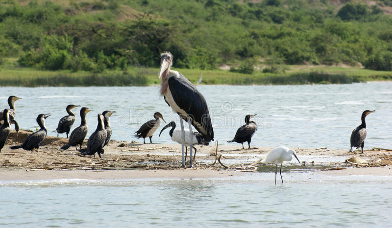 Marabou and other birds in Africa royalty free stock photography