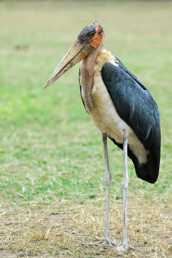 Download Marabou stork stock image. Image of ugly, animal, queen - 16238955