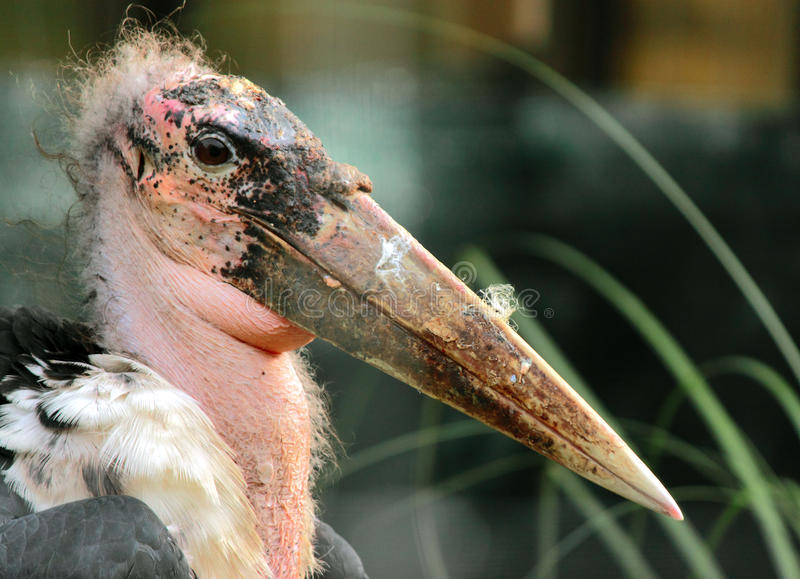 Download Marabou Stork stock photo. Image of head, curly, throat - 16969062