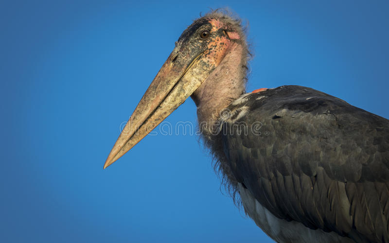 Marabou Stork. In the blue morning sky stock photography