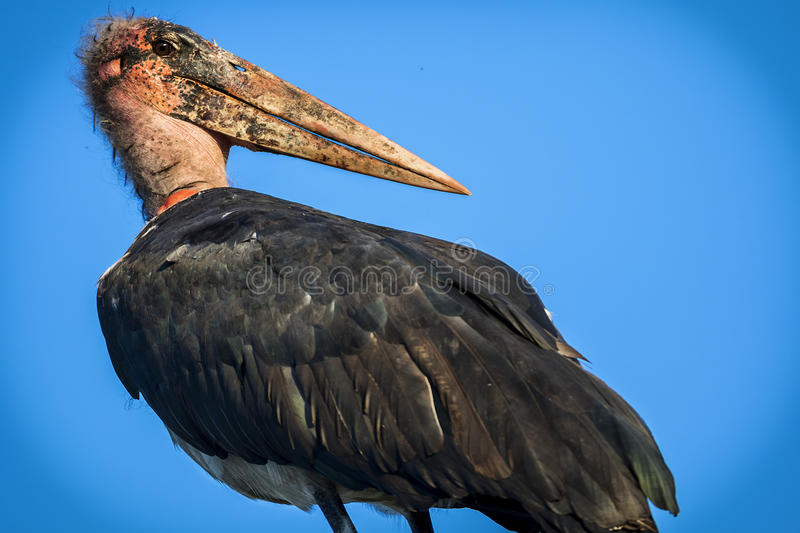 Marabou Stork. With the blue sky as a background stock photo