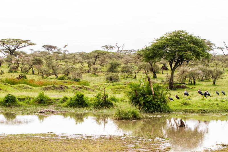 Marabou stork Leptoptilos crumenifer in Serengeti National Park royalty free stock images
