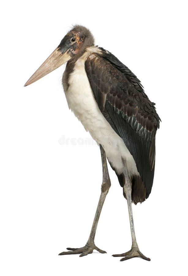 Free Marabou Stork, Leptoptilos Crumeniferus Royalty Free Stock Photos - 24708488