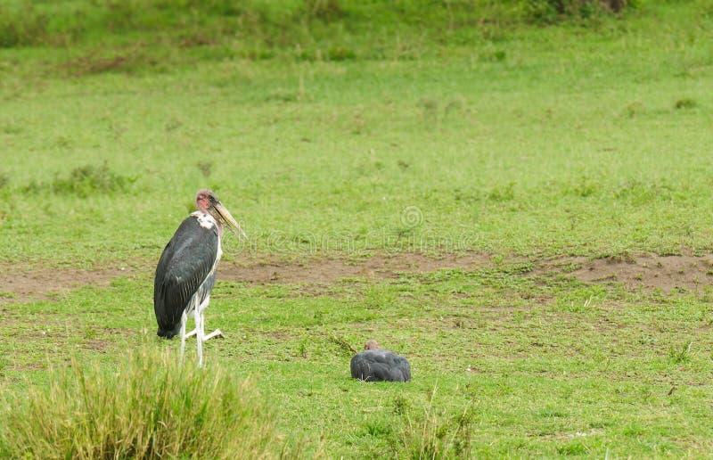 Marabou Stork Leptoptilos crumeniferus royalty-vrije stock afbeeldingen