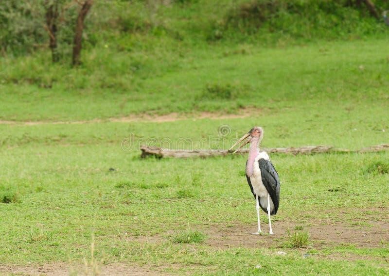 Marabou Stork Leptoptilos crumeniferus stock afbeelding