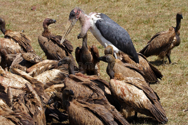 Download Marabou Stork With Vultures On A Zebra Carcase Stock Photo - Image of kenya, african: 11885614