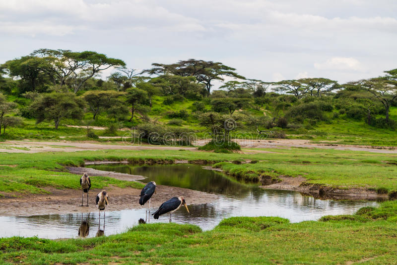 Marabou storks stock photos