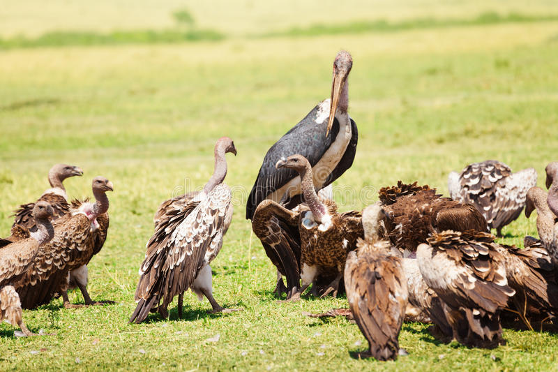Marabou and vultures eating carrion in savannah. Marabou stork and vultures eating carrion in Kenyan savannah, Africa royalty free stock image