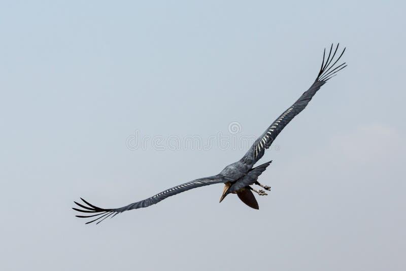 MarabouStork i flyg royaltyfri foto