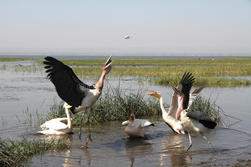 Marabu och pelikan royaltyfri foto