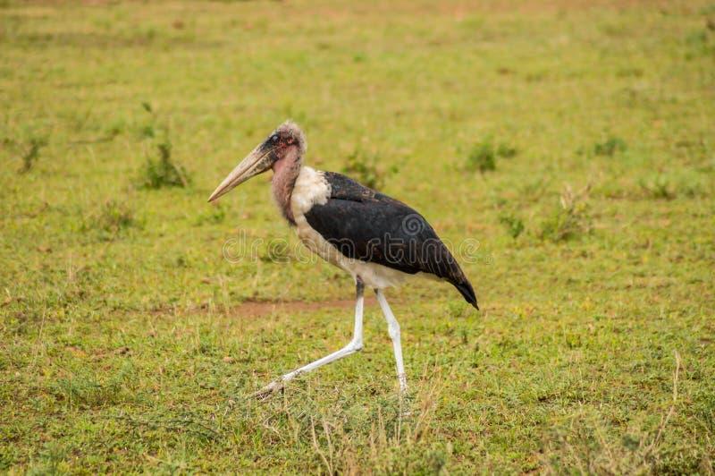 Marabu som går i savannahslätten av Amboseli, parkerar arkivbilder