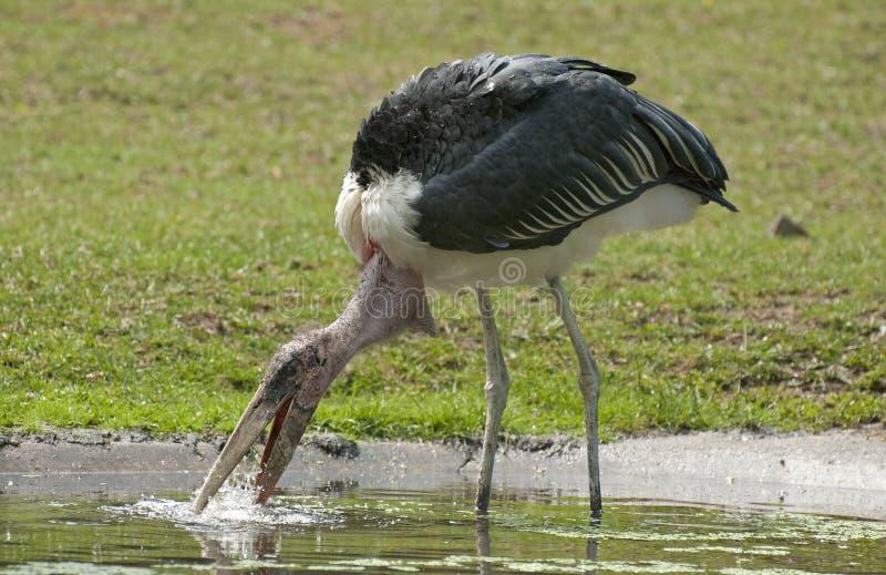 Marabu stork royaltyfri foto