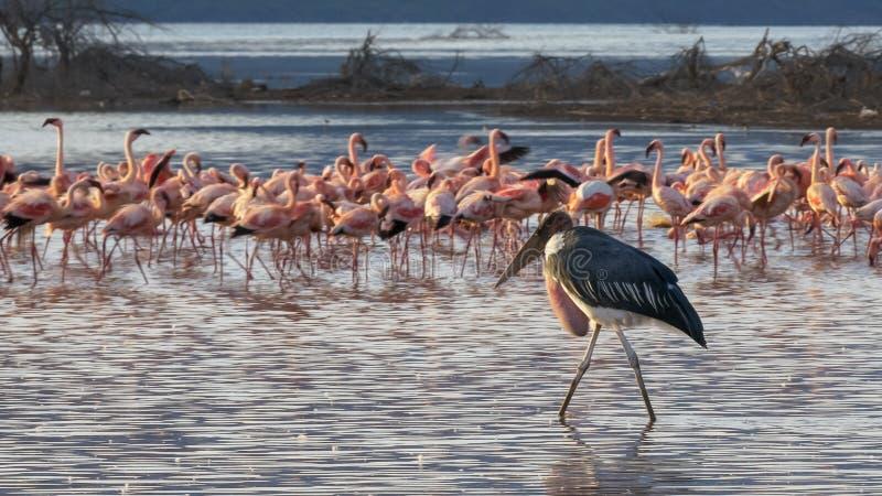 Marabustorken går bland mindre flamingo i Kenya royaltyfri bild