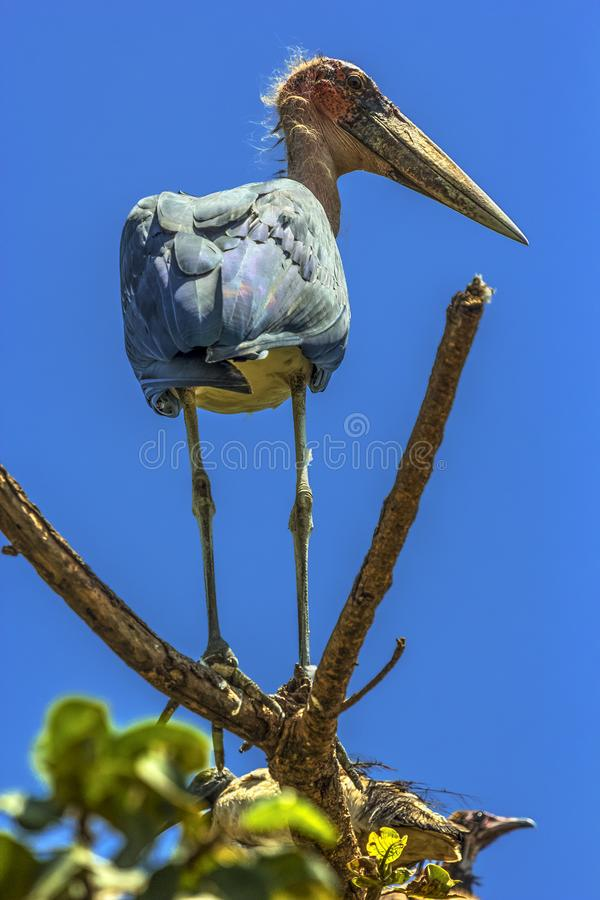 Marabuta bocian, Etiopia obraz stock