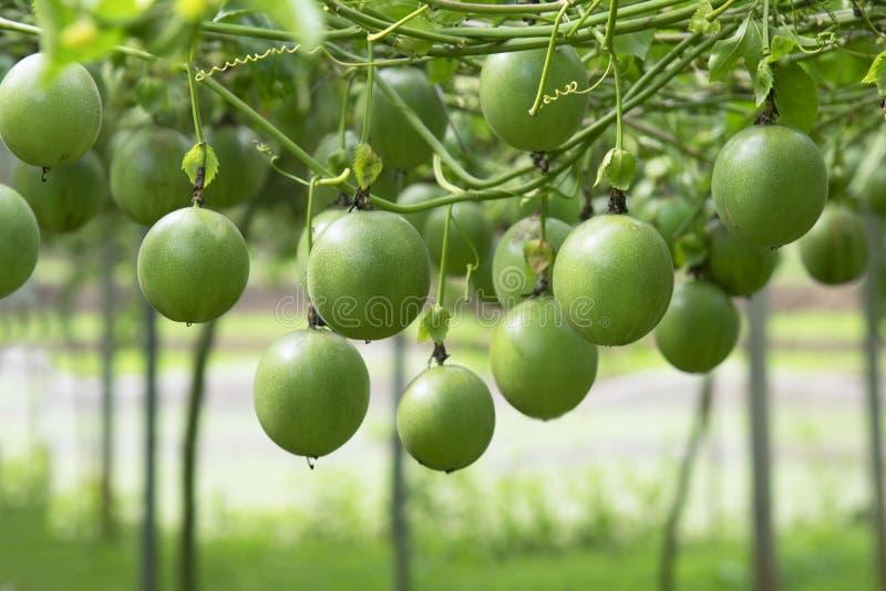 Maracuja auf dem Baum im Maracujabauernhof lizenzfreie stockbilder