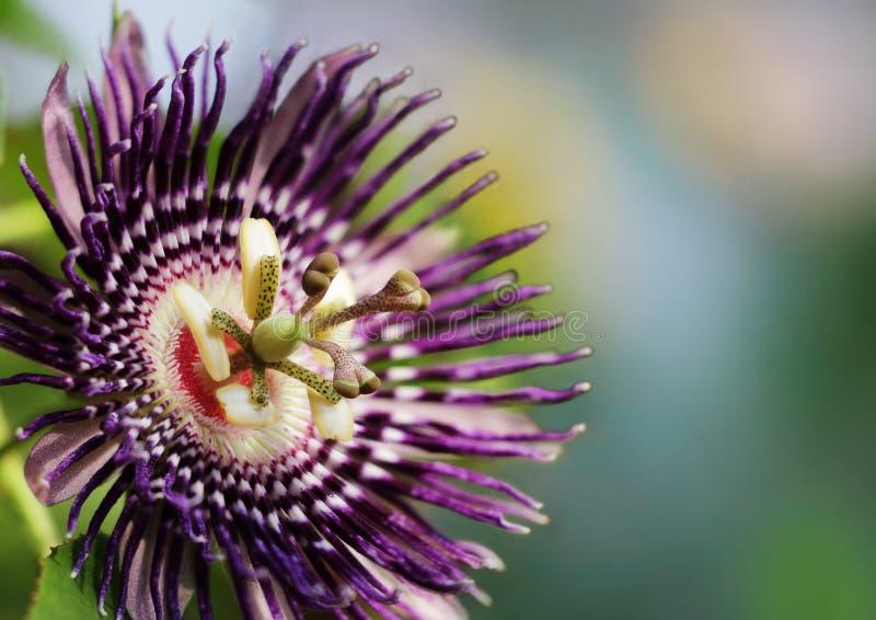 Maracuja-Blume stockbilder