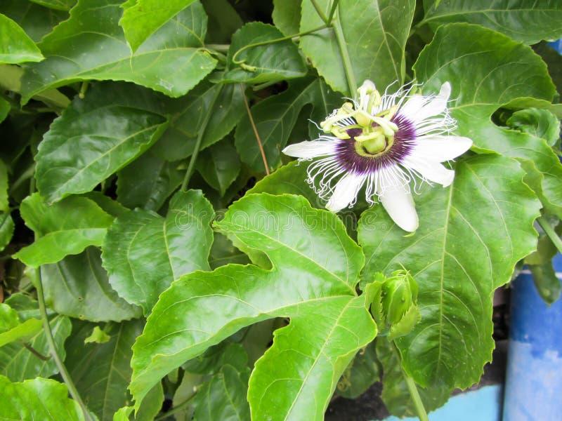 Maracuja kwiat, owoc zdjęcia stock