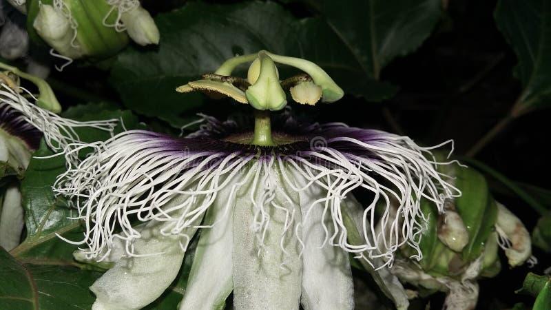 Maracuya flower fruit passiflora edulis. Maracuya is a tropical and amazing flower, and delicious fruit. Its scientific name is Passiflora Edulis royalty free stock image
