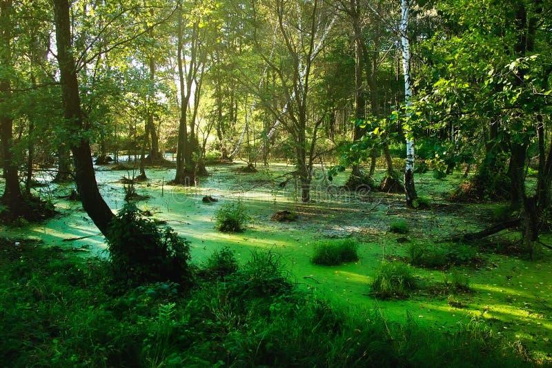 Marais dans le paysage de forêt de forêt d'été dans la soirée ensoleillée photographie stock libre de droits