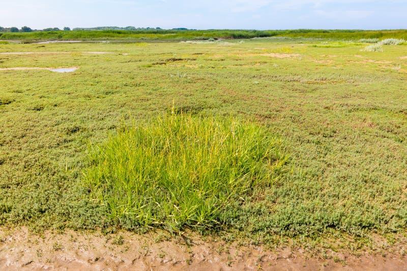 Marais de sel avec le sandwort, le Honckenya, et l'herbe de mer sur le mudflat, N images libres de droits