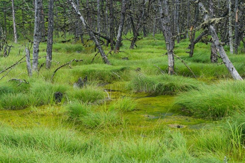 Marais du nord avec les arbres morts secs photos stock