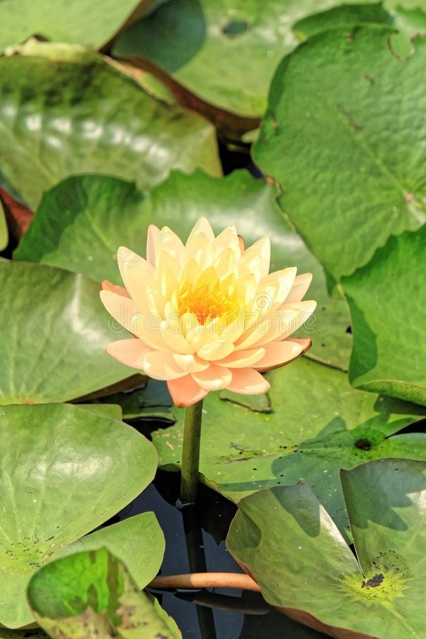 Marais jaune de lac de congé de vert de lotus photo stock