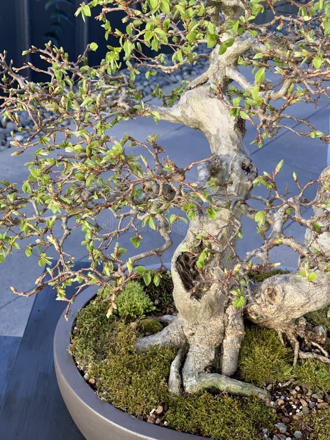 Marais sauvage de bonsaïs photographie stock