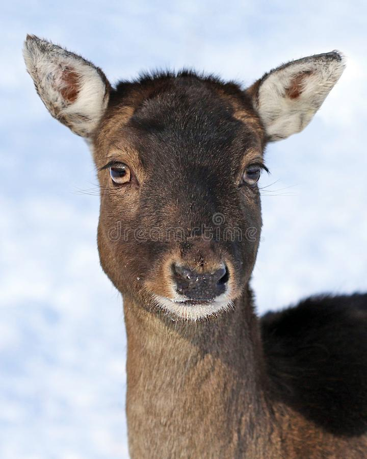 Maral deer portrait stock photos