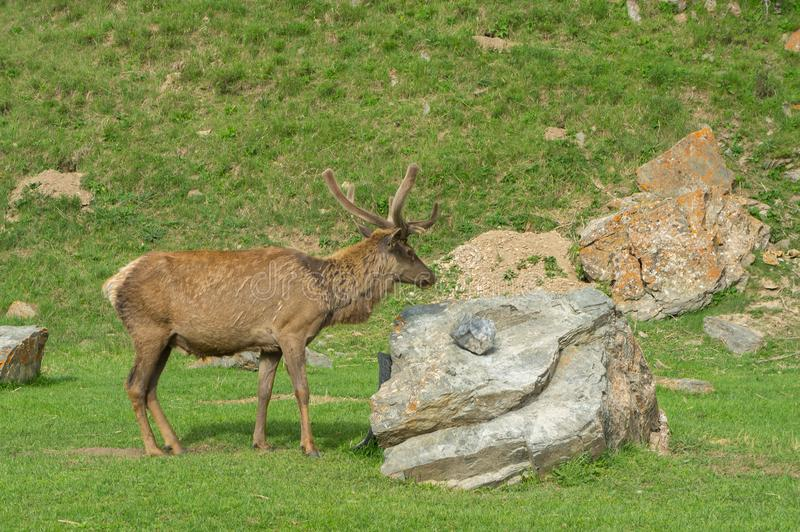 Maral proudly stands at the stone royalty free stock photo