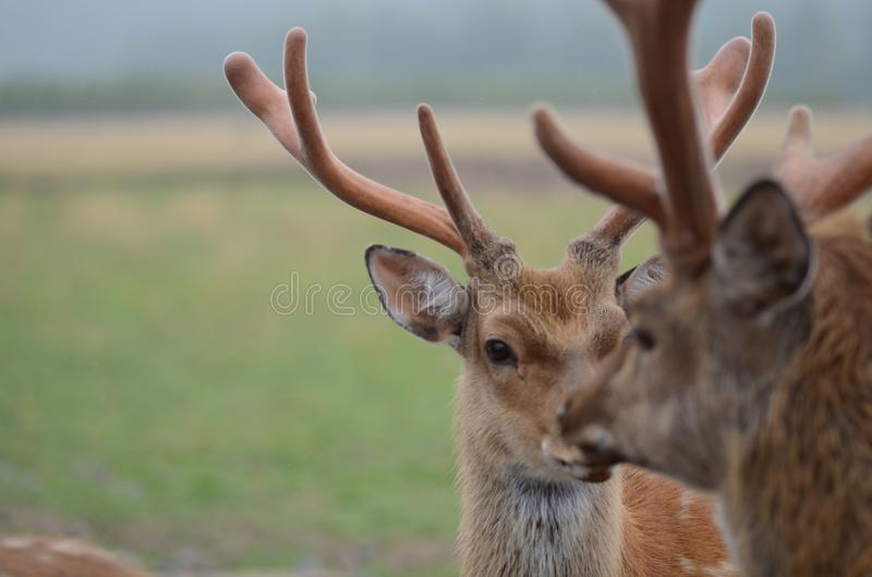 Maral (red deer) in the reserve. a group of deer on an animal farm royalty free stock photo