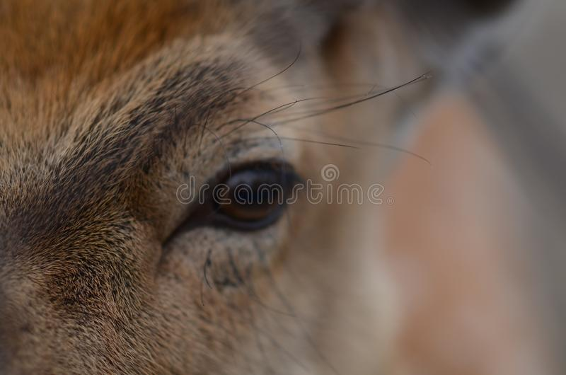 Maral (red deer) in the reserve. a group of deer on an animal farm royalty free stock image